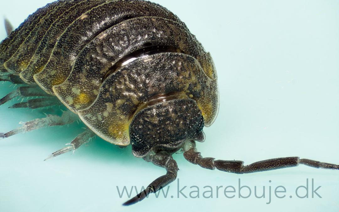 Macro af insekter